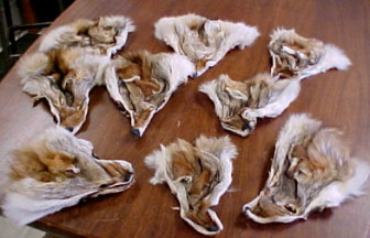 coyote furs for sale