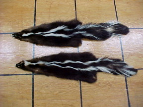 skunk furs for sale, odor free